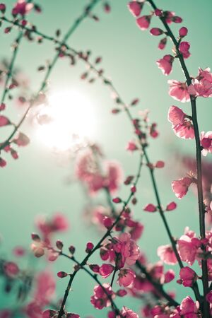 Abstract soft background with cherry blossom and sunlight in shot. Selective focus image Reklamní fotografie