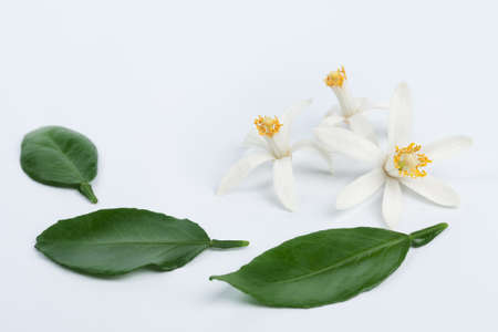 White citrus flowers with leaves on light blue background. Low aperture shot, selective focus