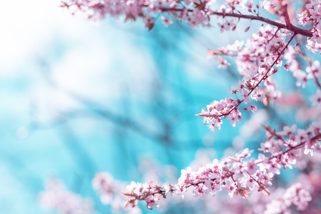 Soft abstract cherry blossom on blurry background with tree branches Stock Photo