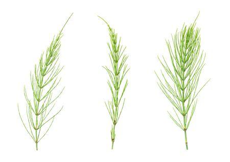 Three equisetum plant set isolated on white