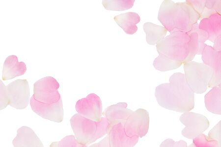 Sfondo di petali di rosa rosa. Tenero motivo floreale isolato su bianco