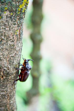 ground beetle: Rhinoceros beetle on the ground and on a tree
