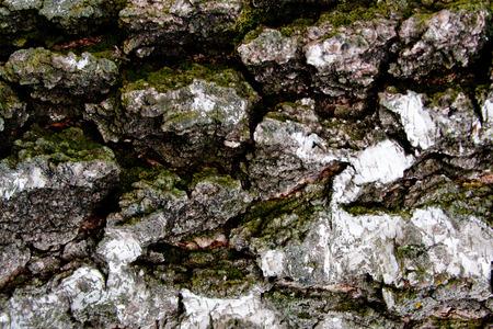 tree bark: tree texture tree bark, birch in the forest Stock Photo