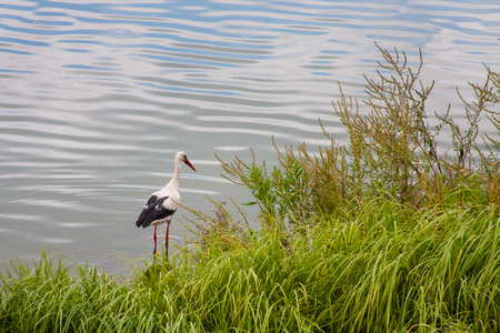 Stork in the water near reeds. concept of Wildlife