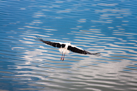 Flying white european stork on a blue water surface Stock Photo