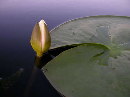 nymphaeaceae:      WaterLily