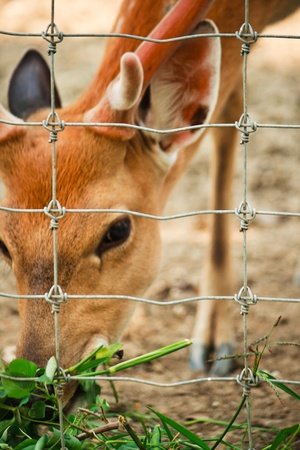 Deer star  Eating grass   Is a beautiful animal photo