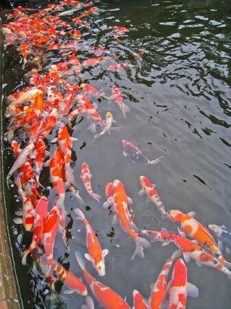 Janpanese koi Stock Photo - 10054566