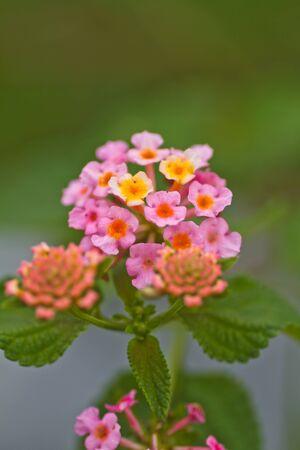 lantana: Flower lantana or Cloth of gold
