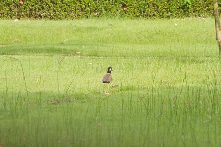 lapwing: Red wattled lapwing in garden