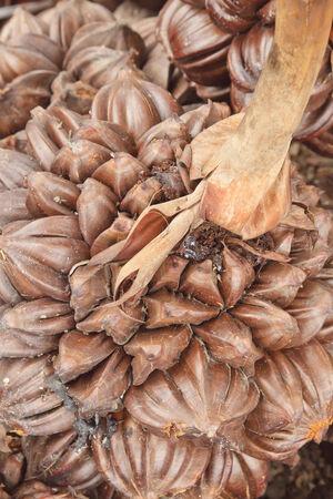 prehistoria: Imagen de cerca Nipa fruta de palma prehistoria