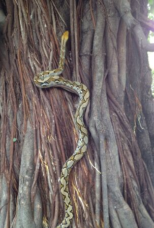 pythons: Pythons reptiles up the tree