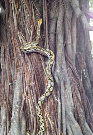 pythons: Pythons reptiles up the tree