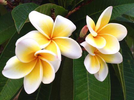 colour: Frangipani flowers in the garden Stock Photo