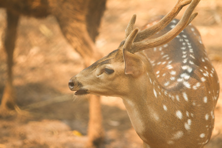 Chital deer beauty in nature photo