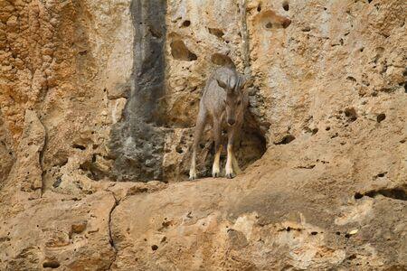 zoogdier: Goral zoogdier op de berg Stockfoto