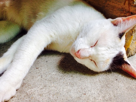 colour: Thailand cat is sleeping.