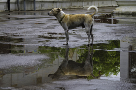 rain weather: Dog Thailand with shadows in puddles