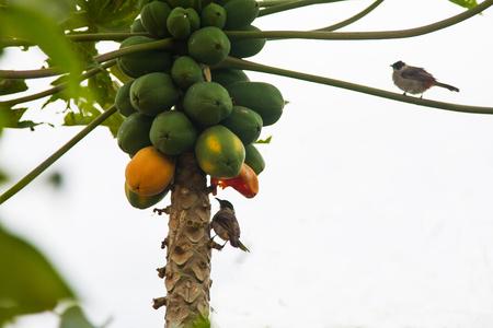 eating fruits: Bird with eating ripe papaya