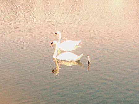 white: White swan in a pond