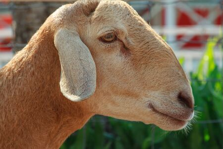 mammal: Goat animal mammal the farm