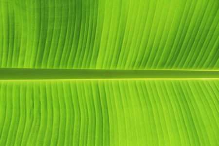 background texture of banana leaf for your design photo