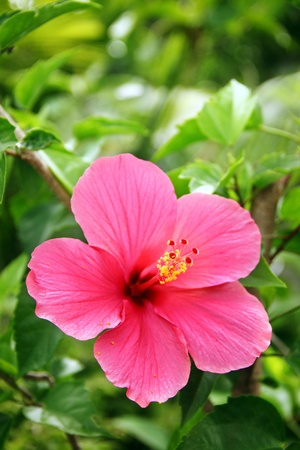 Red tropical hibiscus in bloom Stock Photo