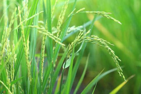 Close up of fresh organic rice plant