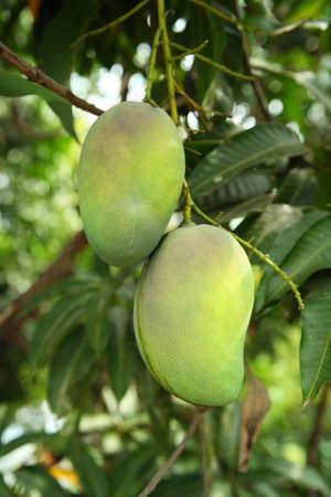 fresh green mangoes hanging on a tree