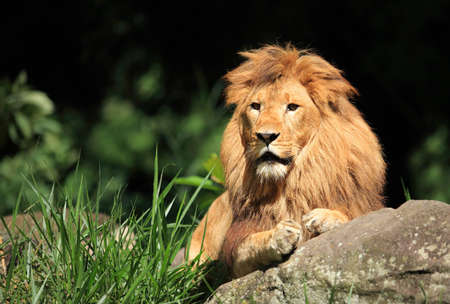 Male lion in the wild Stock Photo
