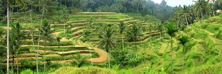 terracing: Landscape view of rice field in Tegalalang, Bali Stock Photo