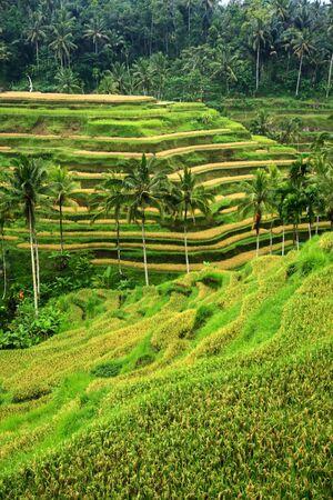 Rice field irrigation Stock Photo - 13570332