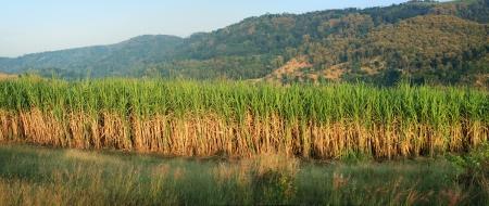 panorama of sugar cane plantation