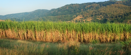 panorama of sugar cane plantation photo