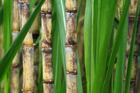 Closeup of sugar cane plantation photo