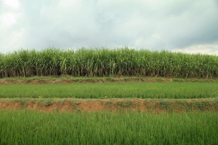 Rural landscape of sugarcane field Stock Photo