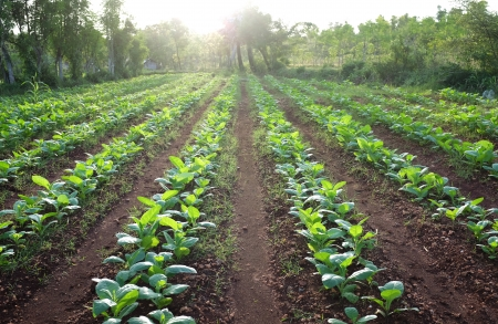 row of tobacco plant in rural farm land Banco de Imagens