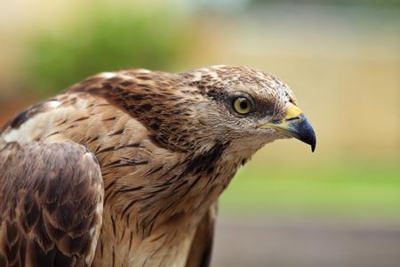 close up of red-tailed hawk, the bird of prey Zdjęcie Seryjne