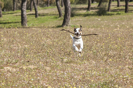 Happy and energetic Jack Russell terrier playing with a stick in the park. Stock Photo