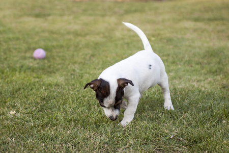 jack russell terrier puppy: Jack Russell terrier puppy playing in the park with a ball. Enjoying the sunny day. Stock Photo