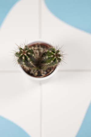 prickles: Close up mini cactus prickles in a white flowerpot on a blue and white floor tile