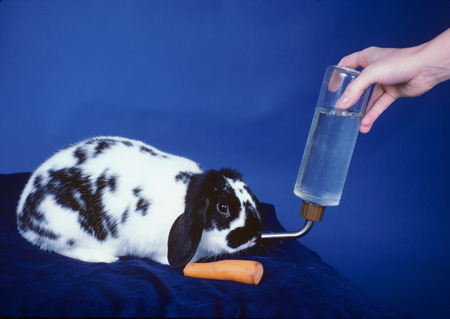 Woman caring for Rabbit by feeding and watering