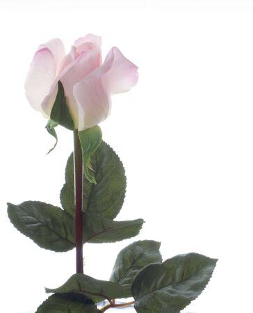 Single Pink Rose on a Stem