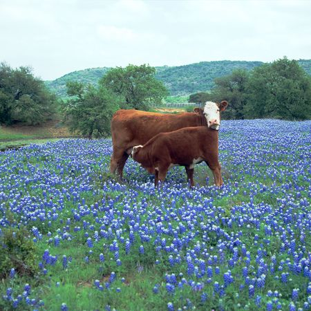 Calf is nursing Mother in a large field of Blue Bonnets