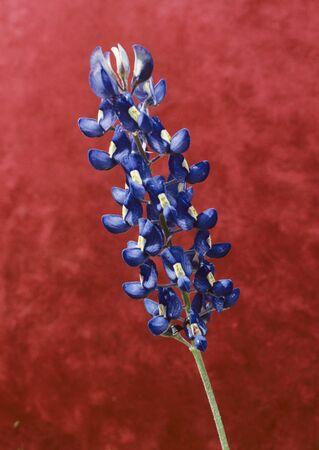 Close-Up of Blue Bonnet Stock Photo