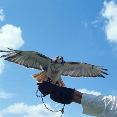 Hawk spreading Wings while sitting on Trainer Hand Stock Photo