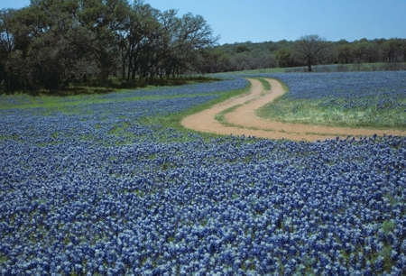 Winding Road in Field of Blue Bonnets Stock Photo