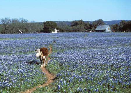 Cow coming down the path surrounded by a field of Blue Bonnets Stock Photo