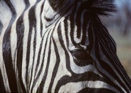 Close-Up of Zebras Head