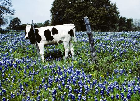 Black and White Cow in Blue Bonnets